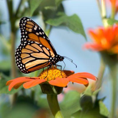 Monarch butterfly. Photo by Jeff Miller
