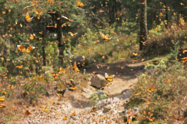 Monarchs migrations