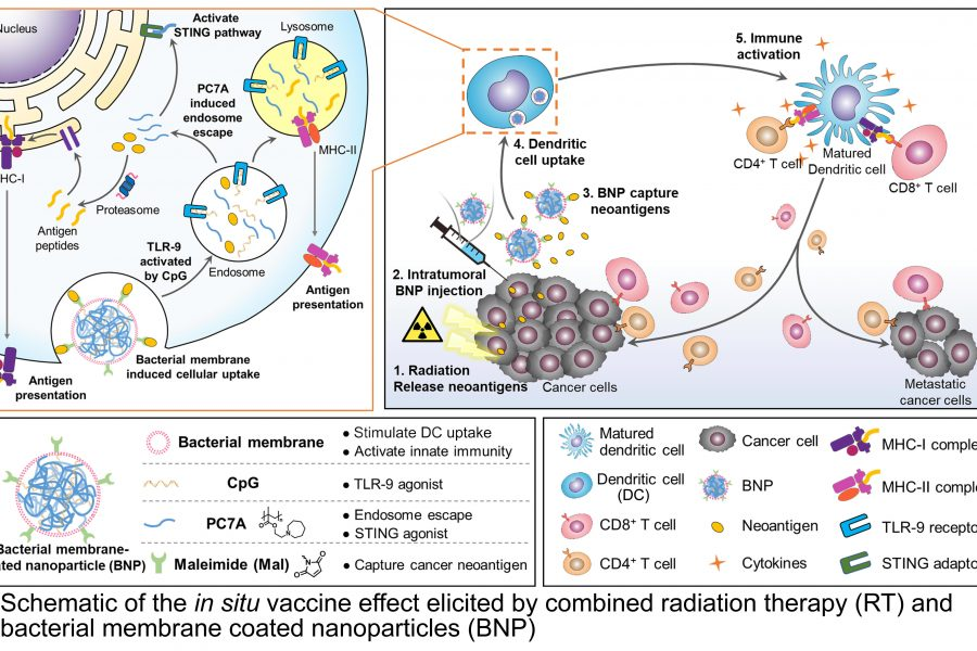 Schematic of the in situ vaccine effect elicited by combined radiation therapy and bacterial membrane coated nanoparticles